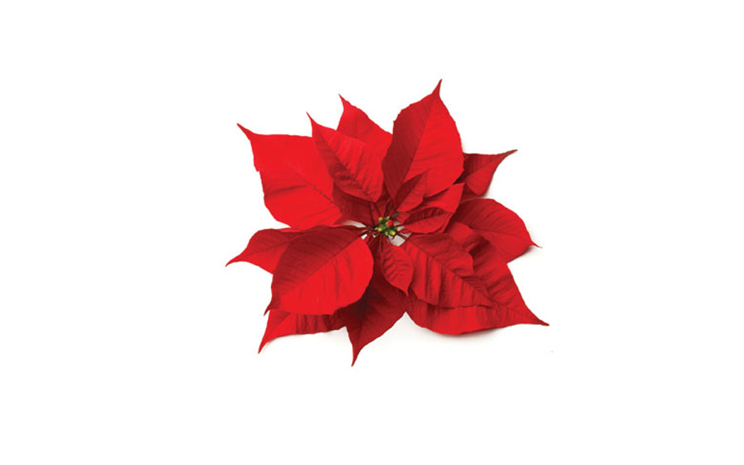 Poinsettias are here… almost!