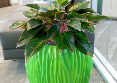 Aglaonema in lime green container