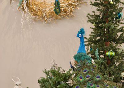 Blue Peacock Display