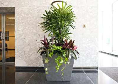 Rhapis palm grouping
