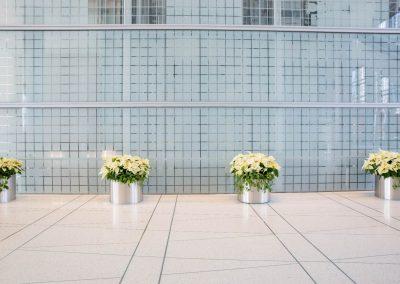 White Poinsettias in Lobby